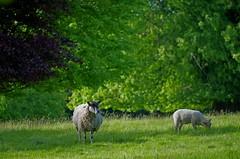 1401-06L (Lozarithm) Tags: wilcot wilts sheep pentax zoom k50 55300 hdpda55300mmf458edwr justpentax