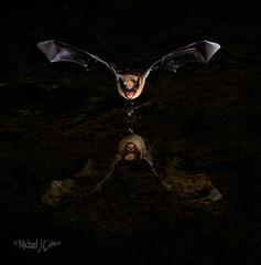 Pallid Bat Drinking (MyKeyC) Tags: bat pallid drinking night flight creepy water drips thepondatelephanthead trap trigger