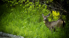 """Shot with my """"Canon"""" (Bill Anderson :-)) Tags: deer morning britishcolumbia canada"""