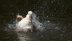 Mandarijneend - Mandarin Duck (Wim Boon (wimzilver)) Tags: bird vogel alblasserwaard holland nederland natuur natuurfotografie canoneos5dmarkiii canon300mmf4lis14ex mandarijneend wimzilver wimboon mandarinduck