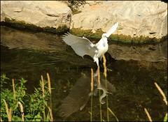 ali spiegate (imma.brunetti) Tags: uccelli fiume mugnone piume becco zampe firenze airone acqua riflessi vegetazione canne rocce toscana alghe natura
