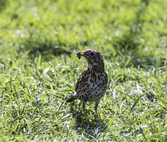 Song Thrush (John R Woodward Photography) Tags: songthrush birds british garden gardens green britain nature mothernature canon canon6d canondslr canonllenses canoneos canon6dwithllenses llenses