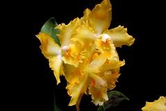Odontoglossum Geyser Gold (srorquídeas) Tags: orquídea odontoglossum geyser gold amarelo ouro planta ornamental