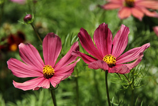 The 'Chocolate' cosmos.