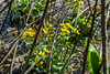 Yellow Wildflowers: Marsh Marigold, April 2017 (marylea) Tags: hudsonmills hudsonmillsmetropark apr22 2017 wildflowers plants michigan washtenawcounty marsh yellow marshmarigold spring springtime calthapalustris