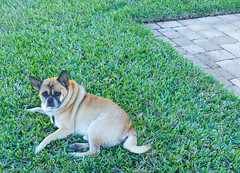 REX on the Lawn (gg1electrice60) Tags: dog rex pugmix pug grass lawn pavers walkway outside outdoors