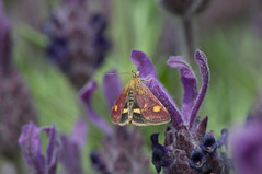 Pyrausta aurata (gelein.zaamslag) Tags: nature fauna butterfly butterflies muntvlindertje pyraustaaurata lavande lavendel lavender flowers macro macrophotograpy macro105mm geleinjansen insect