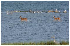 Here we come! (G.Claesson) Tags: rådjur deer wild vatten water wasser sjö lake kalmarsund häger fåglar bird vogel baden badar badet bathes springer runs lauf lopen sverige sweden schweden