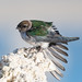 Violet-green Swallow (f) stretching wing while perching on Tufa