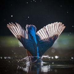 Half-in (Mr F1) Tags: kingfisher alcedoathis johnfanning halfin wild bird bif birdsinflight diving electric blue feathers backlit detail natureoutdoors water