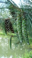 Pinus peuce (tammoreichgelt) Tags: pine cone pinecone macedonian macro needles foliage kiefer rumelische