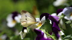 Cabbage Butterfly on the Pansy (Johnnie Shene Photography(Thanks, 2Million+ Views)) Tags: cabbagebutterfly butterfly commonbutterfly whitebutterfly pierisrapae pieris nature natural wild wildlife livingorganism tranquility adjustment interesting awe wonder feeding feeler highangle sideview pansy flower animal animalandplant korea asia macro closeup magnified wings limbs perching resting photography horizontal outdoor colourimage fragility freshness nopeople foregroundfocus fulllength depthoffield bekeh spring day daylight lighteffect peace lepidoptera vivid sharpness canon eos80d 80d tamron 90mm f28 11 lens 배추흰나비 흰나비 나비 곤충 접사 매크로