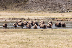 Bison group crossing the Madison River (YellowstoneNPS) Tags: madisonriver yellowstone bison landscape mammals spring