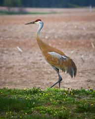 Sandhill Crane in Profile 05-12-17 DSC01907