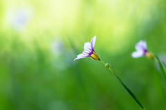 surely, I'll catch up with you (hitohira_) Tags: flower flowers nature bokeh