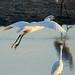Egrets - Senegal