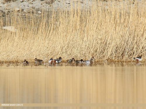 Northern Shoveler (Anas clypeata), Common Teal (Anas crecca) & Garganey (Anas querquedula)