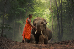 Monk with  elephants . (Visoot20) Tags: monk myanmar praying mammal travel animals adult symbol walking male ivory orange saffron tusk people poor traditional asia indigenous forest local face men rural tourism buddha wild large tranquil vietnam wildlife national sitting culture elephant indonesia robe tree thailand grass novice