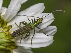 _IMG6433 Swollen-thighed Beetle - Oedemera nobilis (Pete.L .Hawkins Photography) Tags: wollenthighed beetle oedemera nobilis petehawkins petelhawkinsphotography petelhawkins petehawkinsphotography pentax 100mm macro pentaxpictures fantasticnature fabulousnature incrediblenature naturephoto wildlifephoto wildlifephotographer naturesfinest unusualcreature naturewatcher insect invertebrate bug 6legs compound eyes creepy crawly uglybug bugeyes fly wings eye veins flyingbug flying shell elytra ground