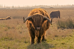 Highland cattle (Tony_Brasier) Tags: cows cattle grass golden faversham weeds kent sea harty ferry d5100 nikon 1855mm horse