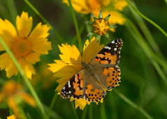 Here comes summer! (KsCattails) Tags: butterfly coreopsis garden kansas kscattails macro may nature overlandparkarboretum paintedlady yellow