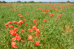 Coquelicots (RarOiseau) Tags: alpesdehauteprovence provence fleurs paysage esparrondeverdon saariysqualitypictures v1000 coquelicot landscape flower