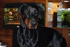 Fabio (Marja S) Tags: dobermann pet fabio dog