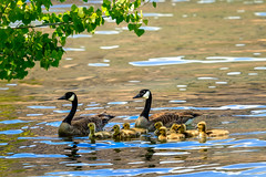 Family Affair (http://fineartamerica.com/profiles/robert-bales.ht) Tags: birds forupload gesse haybales oregon owhyee people photo places projects southeast stateparks states canada bird waterfowl goslings babies water family brantacanadensisblack white feathers migrate wildlife gamebird pest hunting beautiful sensational spectacular awesome magnificent peaceful inspiring inspirational colorful canonshooter wow stupendous superb tranquil monogamous americanphotograph birdphotography downfeathers robertbales young kids nature animal springtime yellow chick feather aquatic