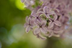 Statement (tealaeves) Tags: lilacs nature spokane washington nikon d5100 bokeh blur pink green light beautiful soft pleasing closeup inw pnw
