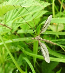 Crane Fly (Daddy-Long-Legs) - Druridge (Gilli8888) Tags: northumberland nature northeast p900 coolpix druridge druridgeponds nikon wetlands insect fly cranefly daddylonglegs wings green countryside