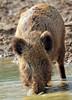 Everzwijn Anholt JN6A8338 (joankok) Tags: zwijn wildzwijn everzwijn wildboar boar mammal zoogdier dier animal europe europa anholt