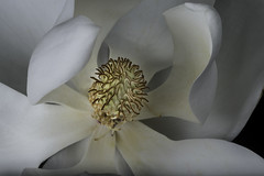 Inside The Magnolia (Bill Gracey 15 Million Views) Tags: magnolia fleur flower flor white yellow offcameraflash softbox softlight yongnuorf603n yn560 nature naturalbeauty sidelighting sidelit macrolens tabletopphotography perspex