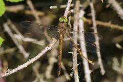 Norfolk Hawker - Paxton (Hugobian) Tags: norfolk hawker dragonfly insect fauna nature wildlife animal pentax k1 paxton pits reserve