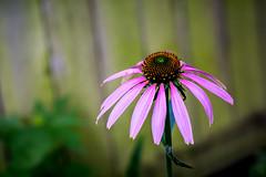 purple coneflower (Echinacea purpurea)