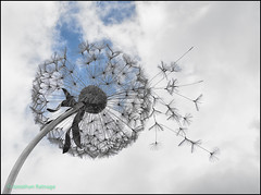 More Dandelions (geospace) Tags: dandelion chatsworth rhs flower show fantasywire