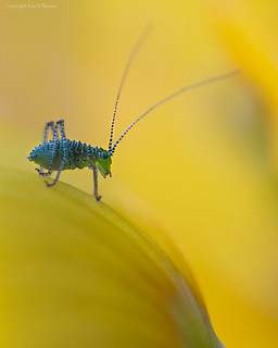 Speckled bush-cricket in a world of poppy petals