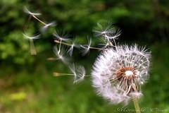 Dandelion (Mr. Oliver976) Tags: löwenzahn dandelion blume nature natur canon 700d flower frühling spring flying seed samen