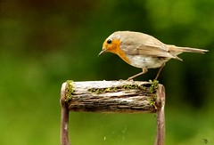 Robin on a spade  (1) (Simon Dell Photography) Tags: robin spade handle garden uk old english bird nature england great britain favorite simon dell photography