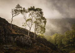 Trees on Holme Fell (3) ( IN EXPLORE ) (zico1965) Tags: sky green tree light morning mist clouds landscape birch
