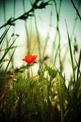 Papaverosso (icodrom) Tags: papaveri prato erba verde rosso cielo