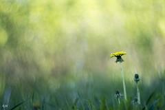 It begins to feel like summer.. (- Man from the North -) Tags: dandelion flower weed grass bokeh bokehlicious zenit40285mmf15 zenit nikon d500 nikond500 nature naturallight dof finland ostrobothnia westcoast beautiful swirlybokeh russianlens manualfocuslens summer inbloom blooming dreamy