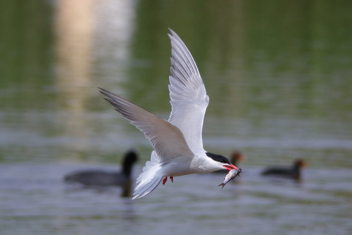 Tern (with fish)