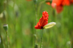 Éclosion (Croc'odile67) Tags: nikon d3300 sigma contemporary 18200dcoshsmc fleurs flowers coquelicots poppies pavots rouge red