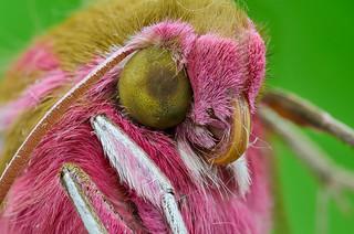 Deilephila sp.