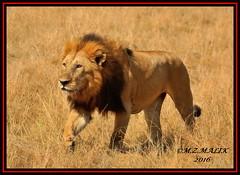 KING OF THE JUNGLE (Panthera leo)....MASAI MARA......SEPT,2016 (M Z Malik) Tags: nikon d3x 200400mm14afs kenya africa safari wildlife masaimara keekoroklodge exoticafricanwildlife exoticafricancats flickrbigcats leo lionking ngc npc