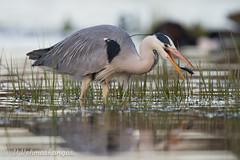 Grey heron (Ardea cinerea) (Ville.V.) Tags: grey heron ardea cinerea bird birds birding wild wildlife nature finland suomi