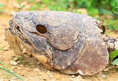 bowfin skull at Pool Slough IA 854A1819 (lreis_naturalist) Tags: bowfin skull pool slough allamakee county iowa larry reis