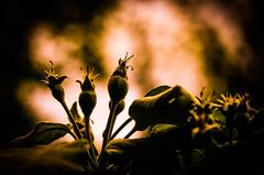 The light.... (tomk630) Tags: virginia sunrise nature light buds plants darkness green brown beautyinnature bokeh
