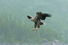 White-tailed Eagle in Norway (moments in nature by Antje Schultner) Tags: whitetailed eagle norway lofoten seeadler greifvogel nebel fog explored