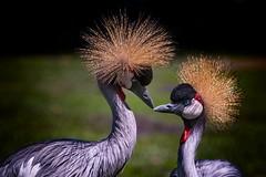 Love (ddimblickwinkel) Tags: vogel birds afrika africa animal tamron tiere art bea nikon d810 wild wildlife natur